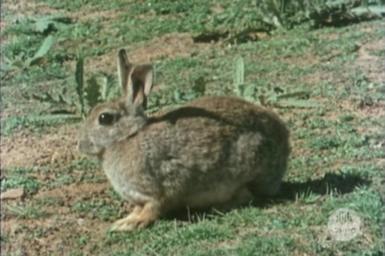 Rabbit in the field.