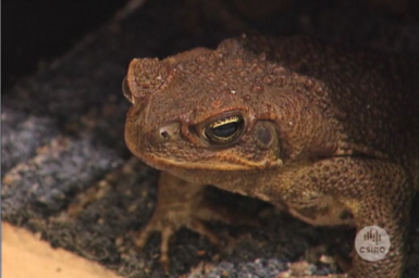 Close up view of Cane Toad.