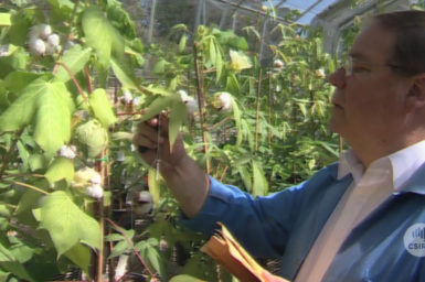 Dr Jim Peacock with cotton plants in glasshouse