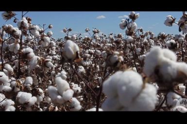 Cotton ready for harvest.