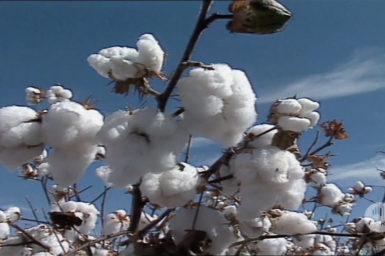 Cotton plants ready for harvest.