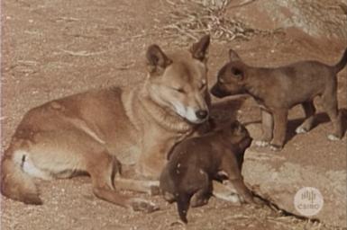 Female dingo with pups